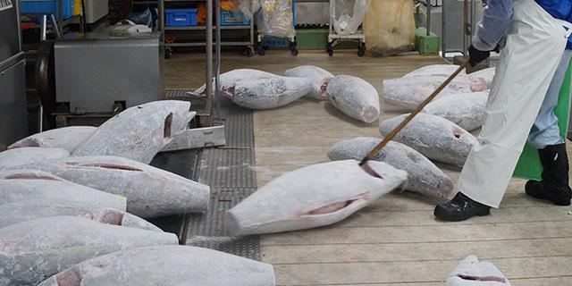 マグロ卸業者さんの冷凍庫に着いたら、世界の海から届いた超ビッグサイズのメバチマグロたちがお出迎え。
