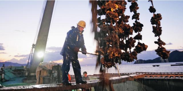 牡蠣イカダから引き上げられた短冊は、圧巻の高さと存在感! 熟練の漁師さんが力強くワイヤーをカットしていきます。